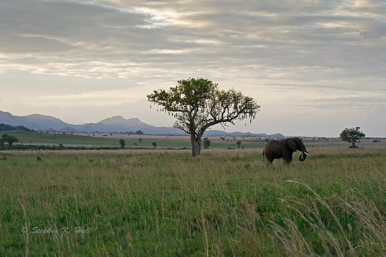 Lone bull elephant, late evening. Kidepo Valley, northeastern Uganda