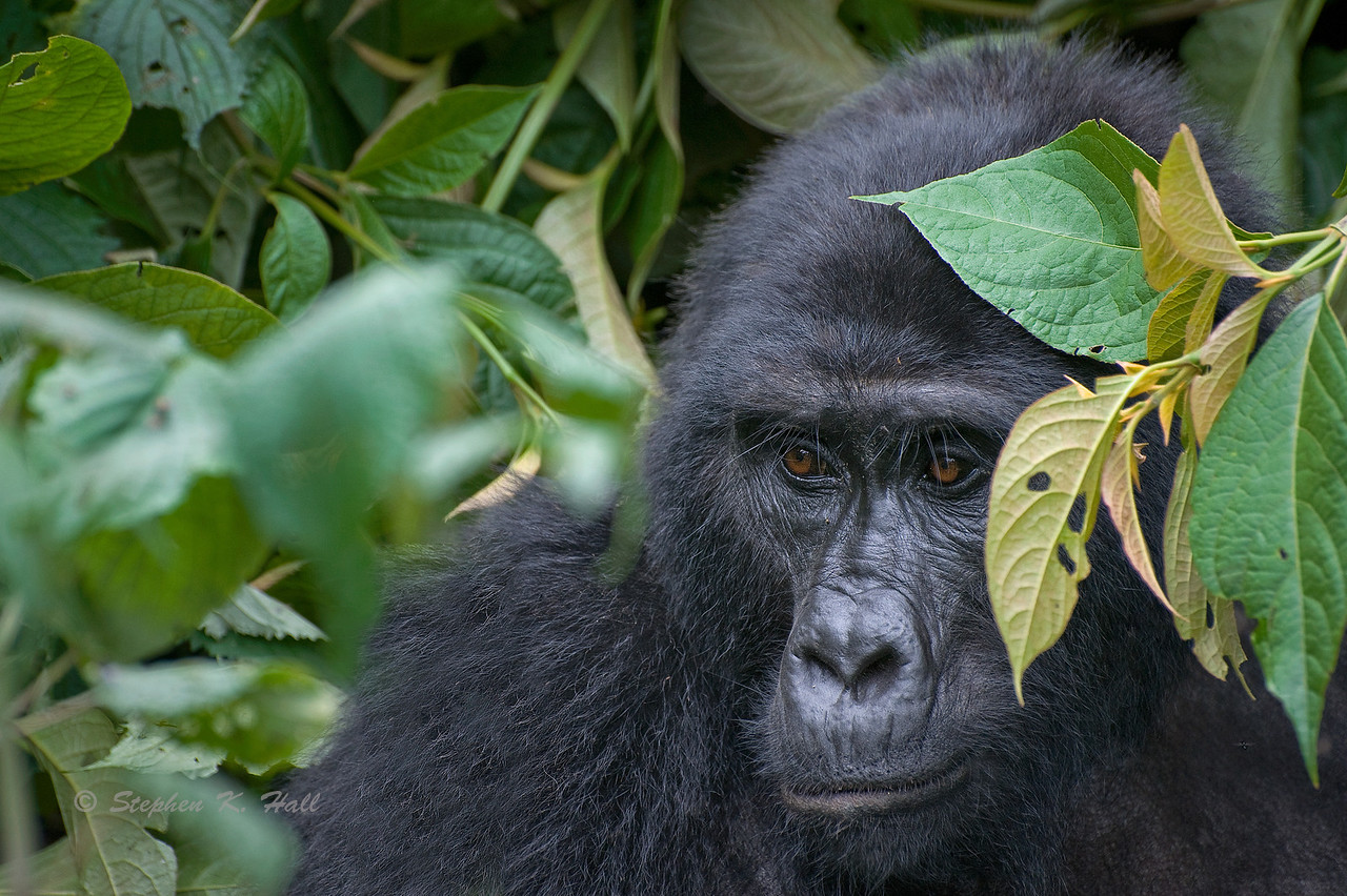 Endangered Mountain Gorilla. Bwindi Impenetrable Forest. Southwestern Uganda
