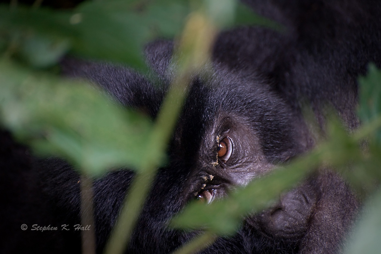 Nursing baby mountain gorilla. Bwindi Impenetrable Forest, Uganda
