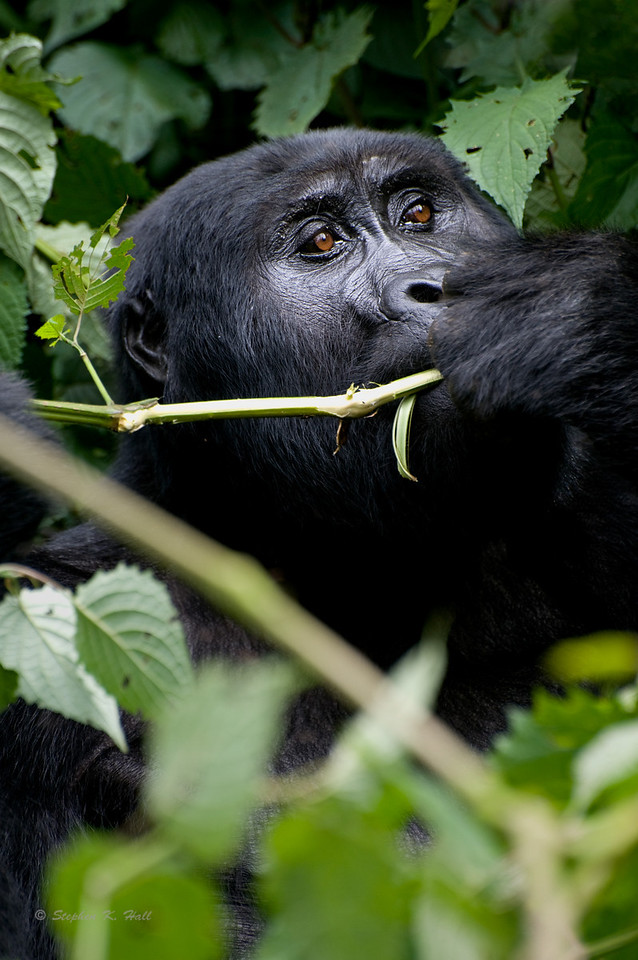 Endangered mountain gorilla eating, Bwindi Impenetrable Forest, Uganda