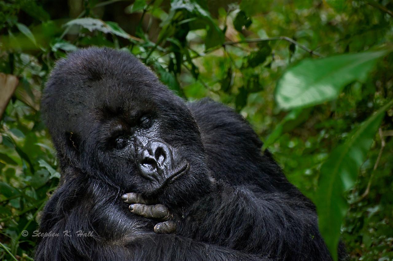 Silverback, endangered mountain gorilla, Parc des Volcans, Rwanda