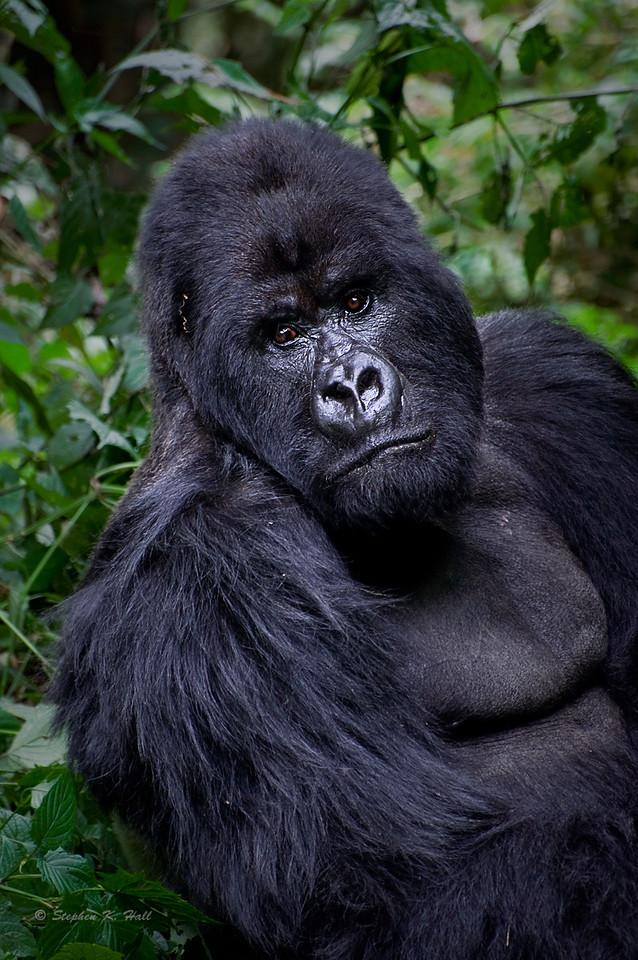 Silverback, endangered mountain gorilla, Parc National des Volcans, Rwanda