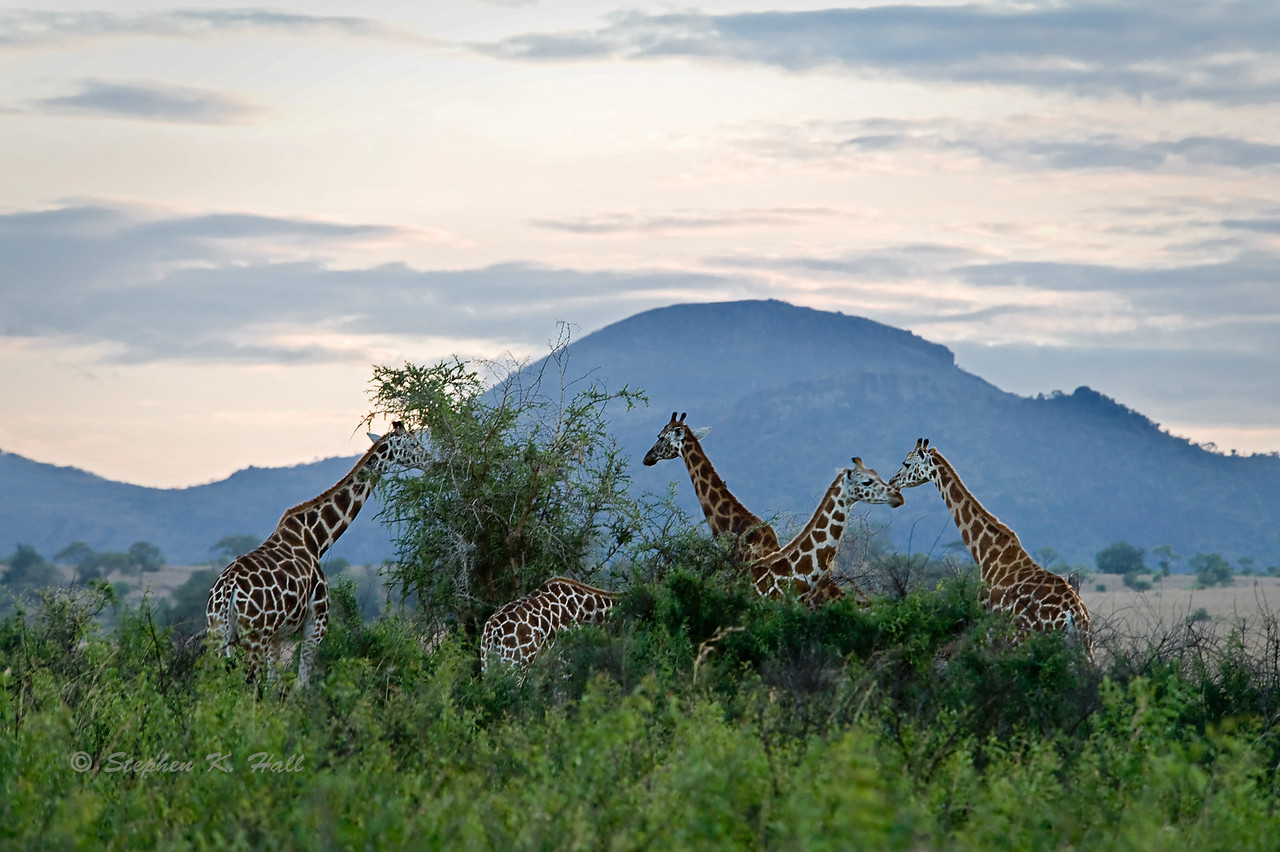 Giraffes feeding, evening. Kidepo Valley, northeastern Uganda