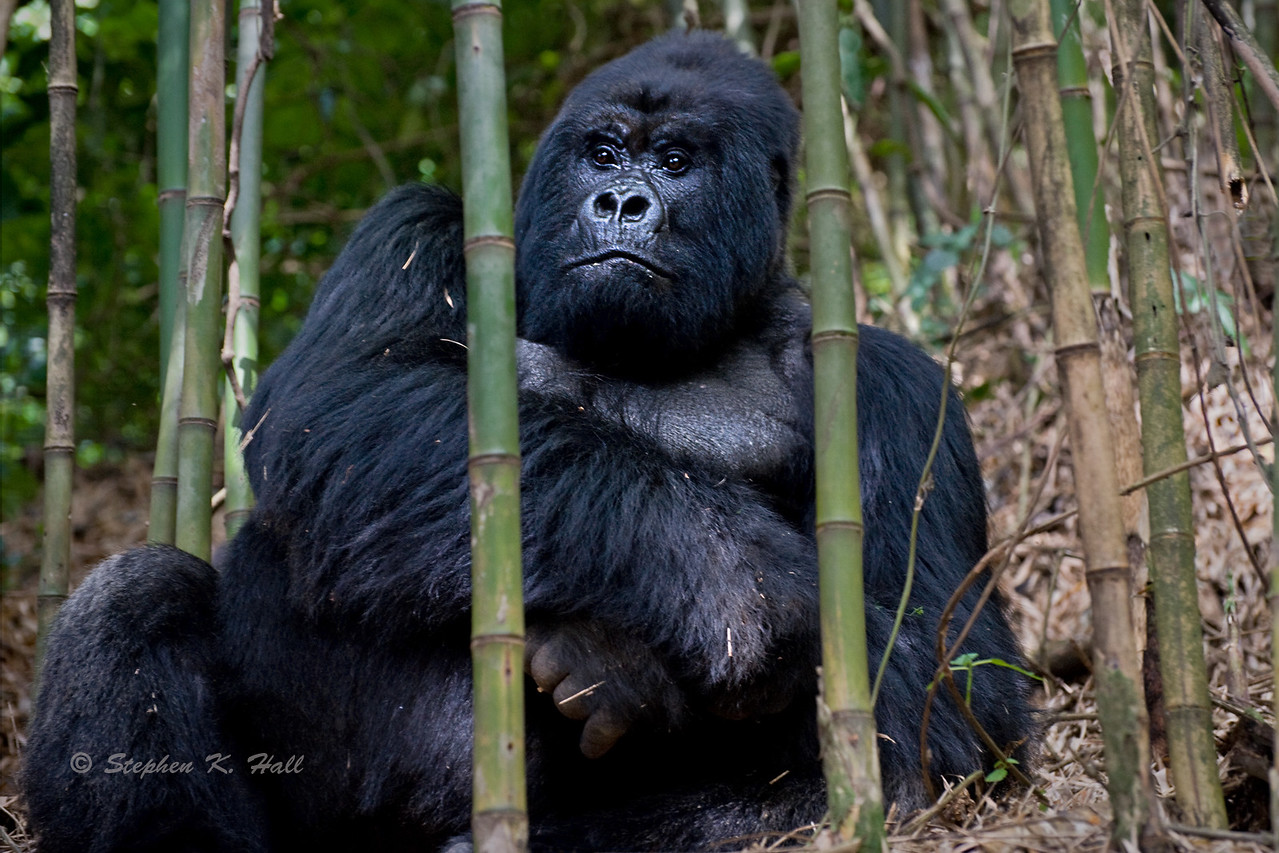 Silverback mountain gorilla in bamboo forest. Parc National des Volcans, Rwanda.