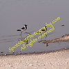 Plovers at Natural Watering Hole