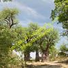Baines Baobab Forrest, Nxai Pan