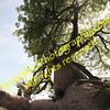 A Look Up a Baobab Tree