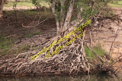 Exposed Tree Roots along Zambezi River