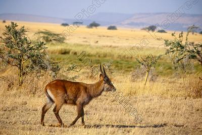 kobus ellipsiprymnus,waterbuck,waterbokcobe à croissant,Serengeti,Tansania,Tanzania,Tanzanie
