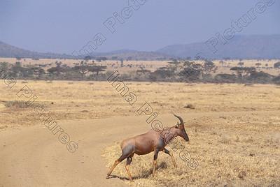 Damaliscus lunatus,tsessebe,sassabi,Serengeti,Tansania,Tanzania,Tanzanie