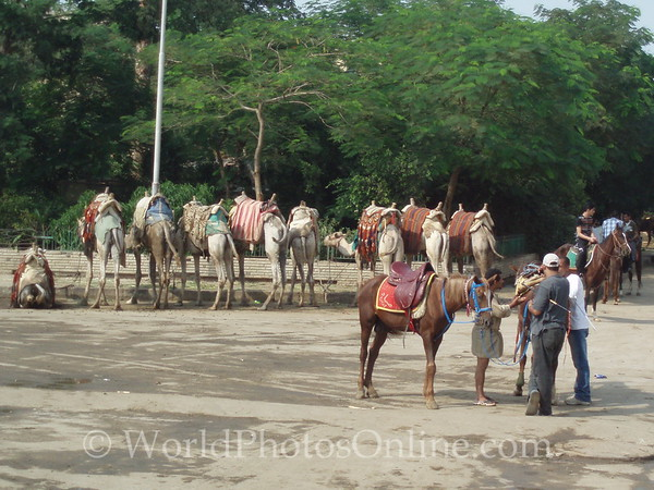 Cairo - Camels and Horses for Rent by Pyramids