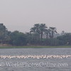 Nile River - Pink Flamingos on the Nile