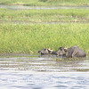 Nile River - Water Buffalos