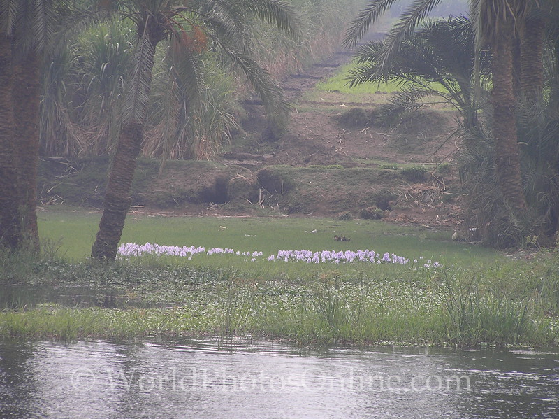 Nile River - Lavender Flowers on Nile River