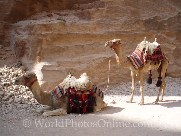 Petra - Bedouin Camels