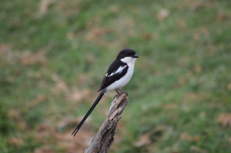 Long tailed fiscal