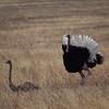 Ostrich love...