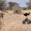 Masi Ostrich