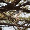 Pygmy falcon - smallest bird of prey