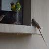 Speckled Mousebird - rightmost bird