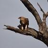 Tawny eagle eating