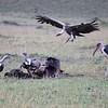 Lappet-faced Vulture, Ruppells Griffon Vulture, & Marabou Stork at carcass