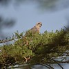 African Pale tenting goose hawk