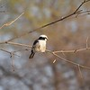 Northern White Crown Shrike
