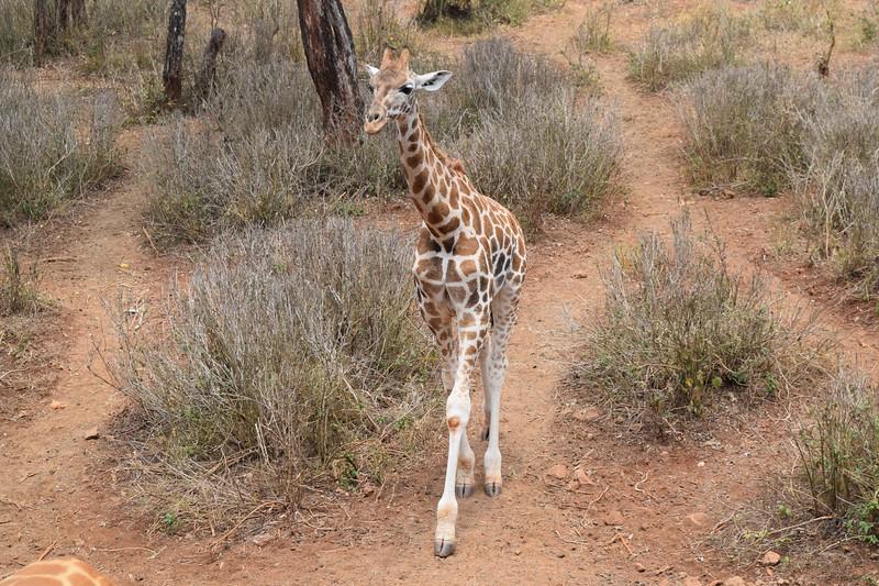 Young Giraffe at Nairobi Giraffe Center