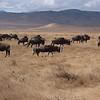 Panorama of Wildebeest and Zebra herd in Ngorongoro Crater