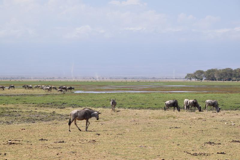 Wildebeest herd at Amboseli water hole
