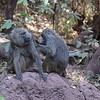 Grooming Baboons in Lake Manyara Park