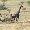 Two headed Giraffe (just kidding) and large older male Giraffe in the Serengeti