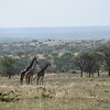 Three Giraffes in the Serengeti