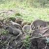 Mongoose den