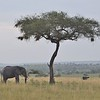 Elephant, Ostrich and Acacia Tree in the Serengeti