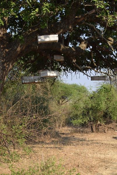 East African Beehives in tree