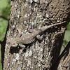 Tree Lizard in the Serengeti