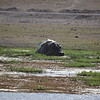 Hippo at Amboseli water hole