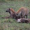Hyenas playing