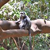 Blue Monkey in Lake Manyara park
