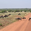 Wildebeest crossing the road in the Serengeti