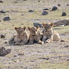 Young Lion Brothers at Amboseli