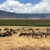 Wildebeest and Zebra herds in Ngorongoro Crater
