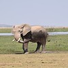 Elephant throwing mud at Amboseli water hole