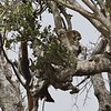 Leopard resting during day in Serengeti