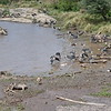 Carnage after Wildebeest crossing