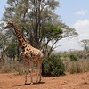 Giraffe at Nairobi Giraffe Center