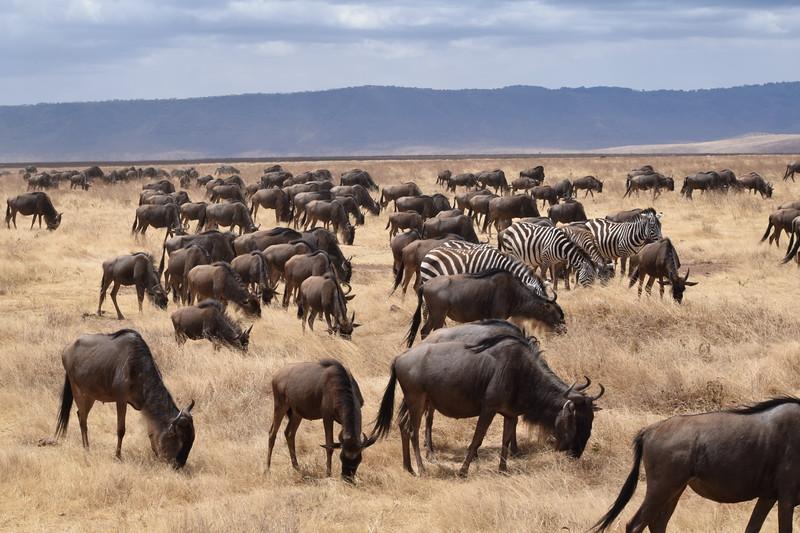 Wildebeest and Zebra herd in Ngorongoro Crater Video