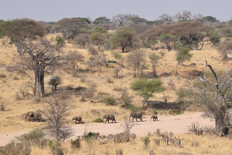 Elephants herd in Tarangire park